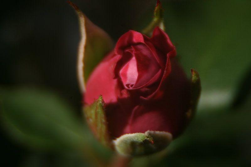 Lavender Sunblaze Miniature Rose Rose Garden Minnesota Landscape Arboretum Photograph Taken: 07/08/2014