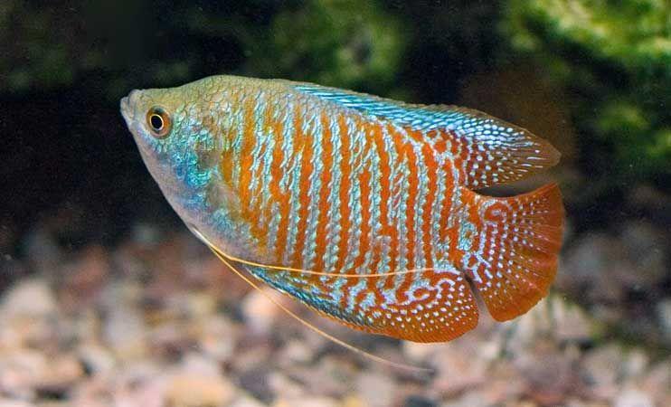 Prętniki Karłowate - ryby akwariowe - Gurami Karłowate