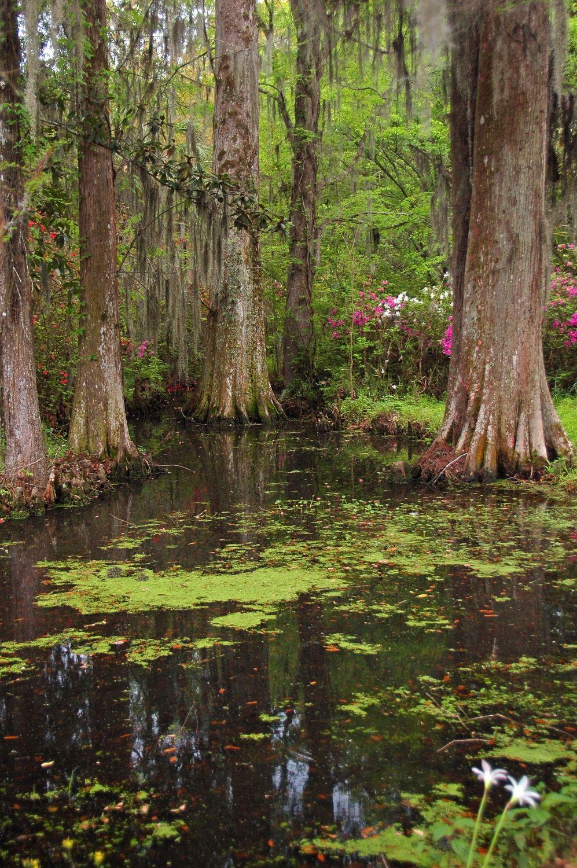 Audubon Swamp Gardens at Magnolia Plantation Gardens\