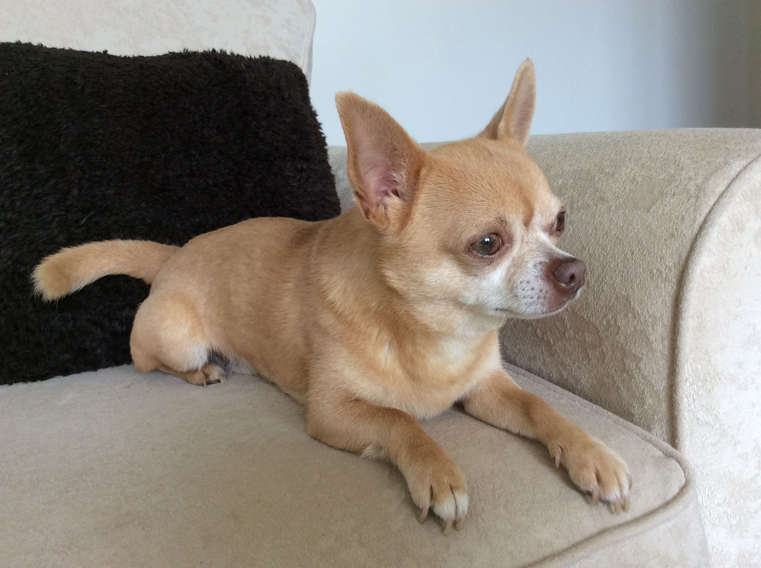 Kc Registered Stud West Yorkshire Chihuahua Bulldog French
