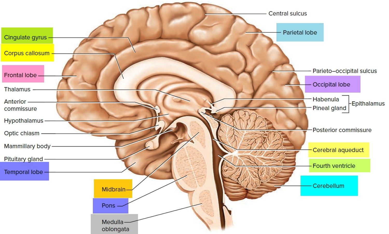 Diagram Of The Sagittal View Of The Human Brain Human Anatomy