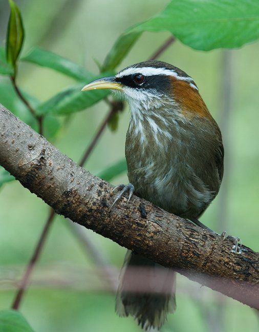 The scimitar babblers are birds in the genera Pomatorhinus, Xiphirhynchus and Jabouilleia of the large Old World babbler family of passerines. These are birds of tropical Asia, with the greatest number of species occurring in hills of the Himalayas. TIMALIIDAE