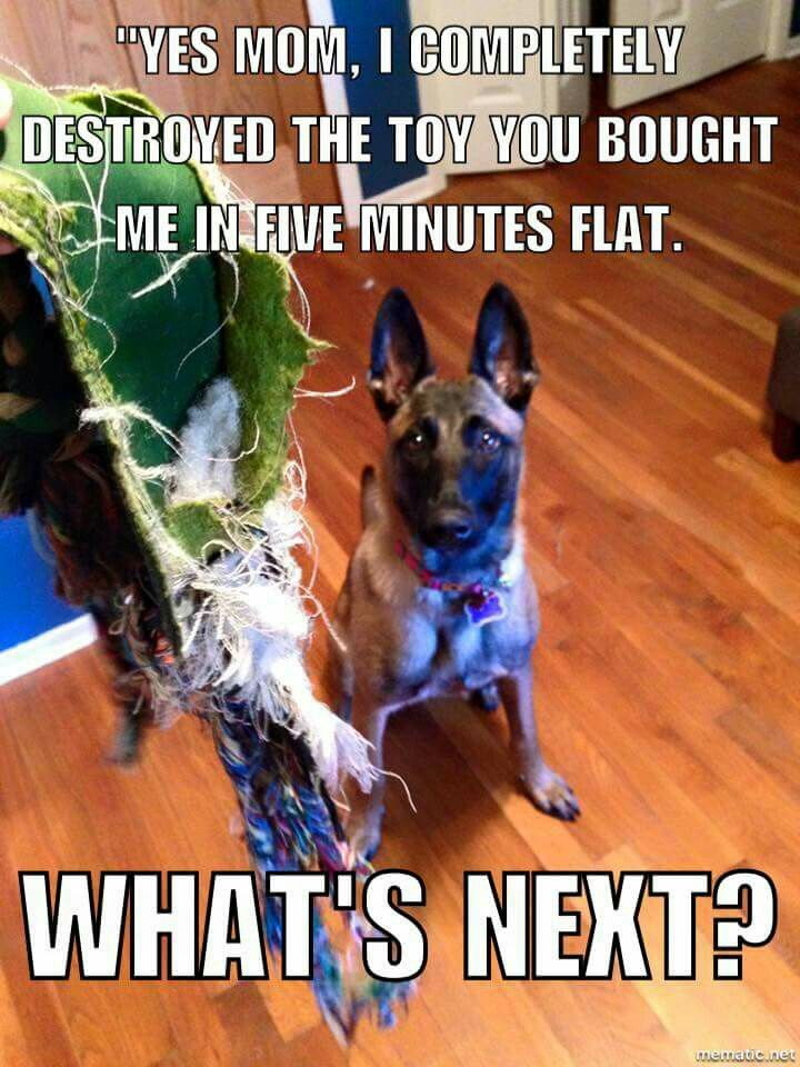 Sounds like my Maggie Belgian malinois dog, Malinois puppies