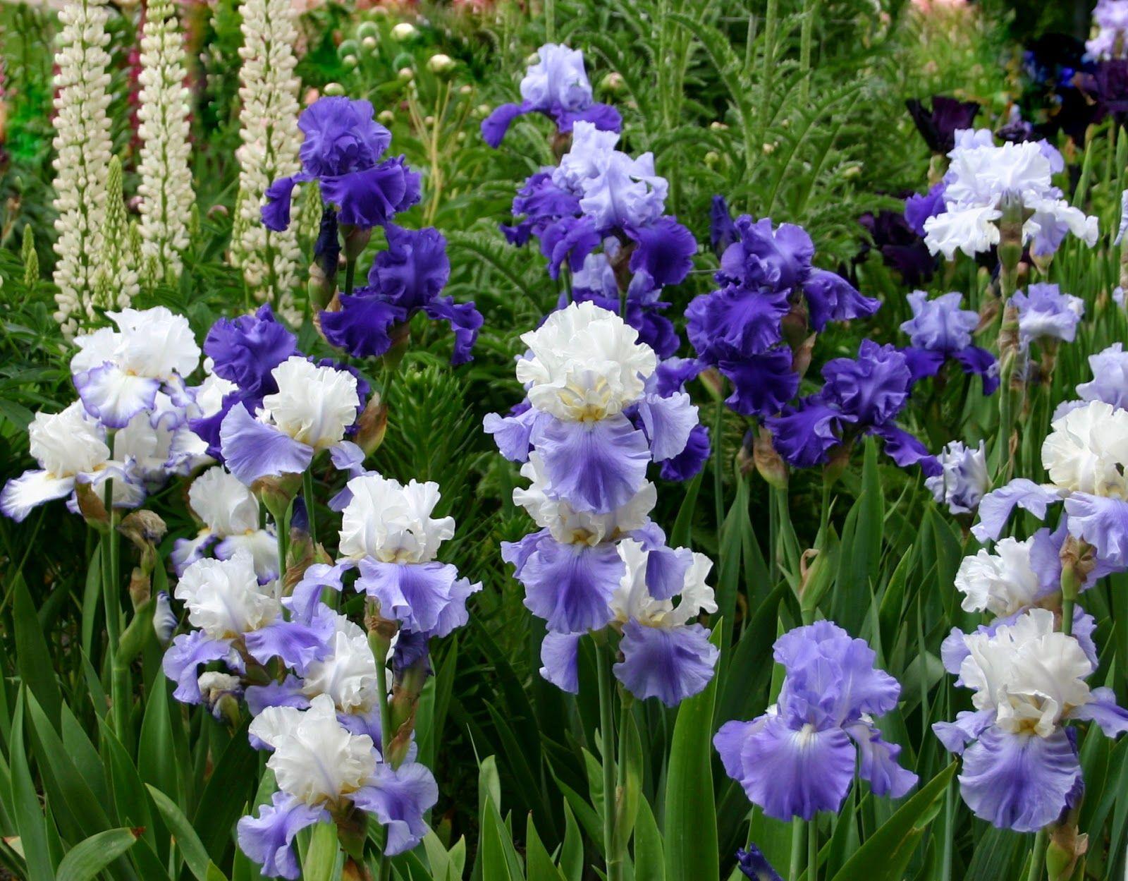 World Of Irises The Blue Iris Garden Planting A Monochromatic Tall Bearded Iris Bed Iris Flowers Iris Garden Flower Garden Plans