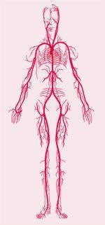 Arterien Mensch