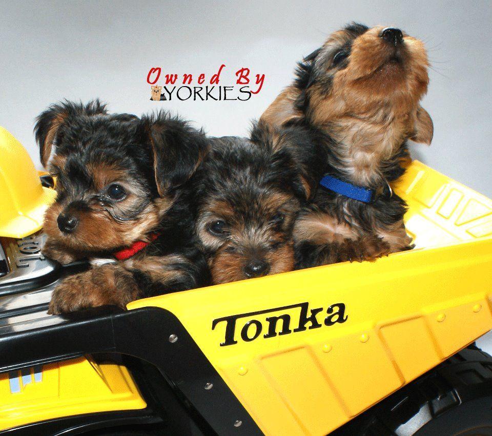 Construction Yorkies Yorkie Lovers Yorkie Yorkshire Terrier