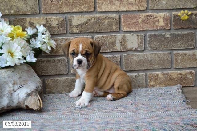 English Bulldog Puggle Puppy For Sale In Ohio Buckeyepuppies