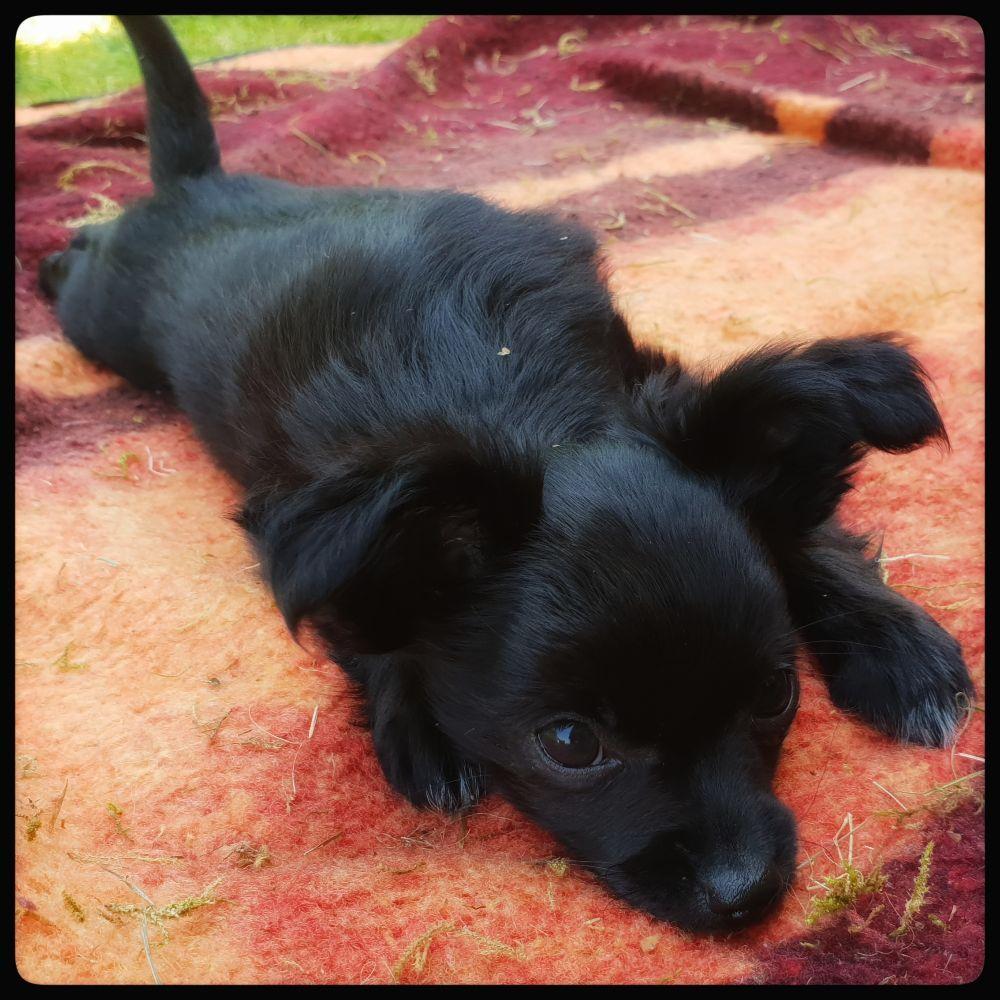 2 Chihuahua Langhaar Welpen Ruden Http Www Tier