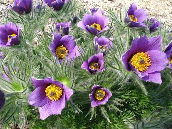 Sasanki Na Wiosenny Skalniak Plants Flowers Photo