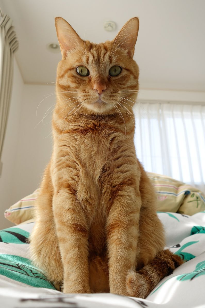 This Orange Lovely Looks Exactly Like My First Cat Tito Long