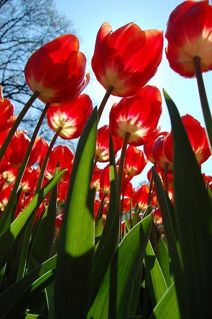 Dow Jones tulips in Keukenhof Garden near Lisse, Netherlands