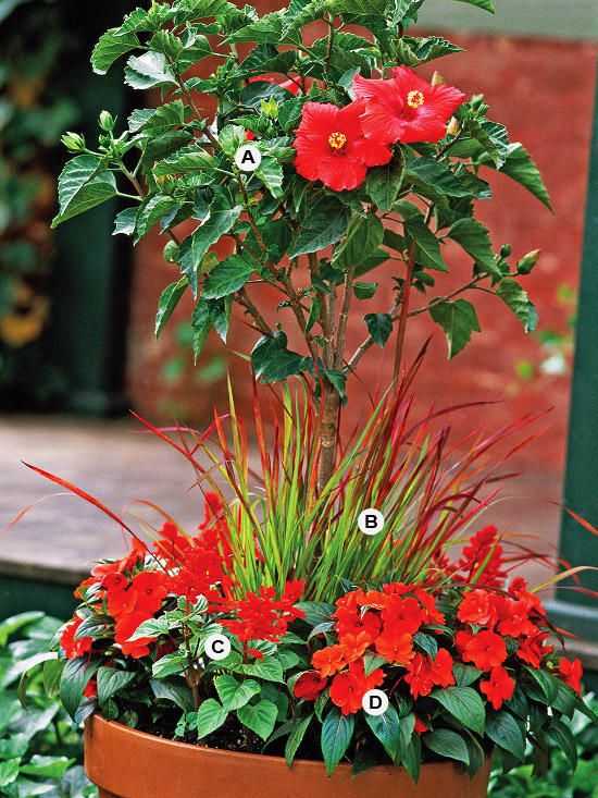 A Gallery Of Beautiful Container Garden Ideas | Pinterest | Hibiscus Rosa  Sinensis, Tropical Plants And Salvia