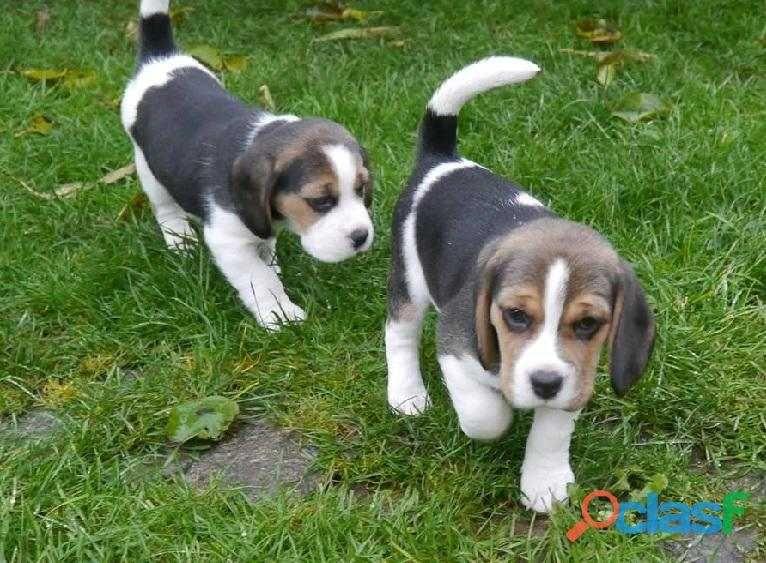 Beautiful Kc Reg Beagle Puppies Beagle Puppy Kittens Cutest