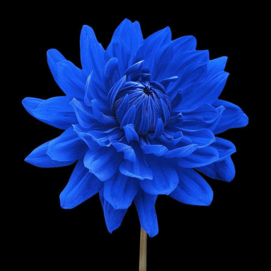 Blue Dahlia Flower Against Black Background Canvas Print Canvas