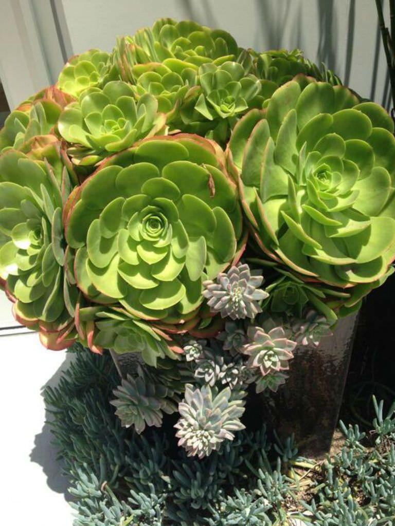 Aeonium urbicum (Saucer Plant) Succulents garden