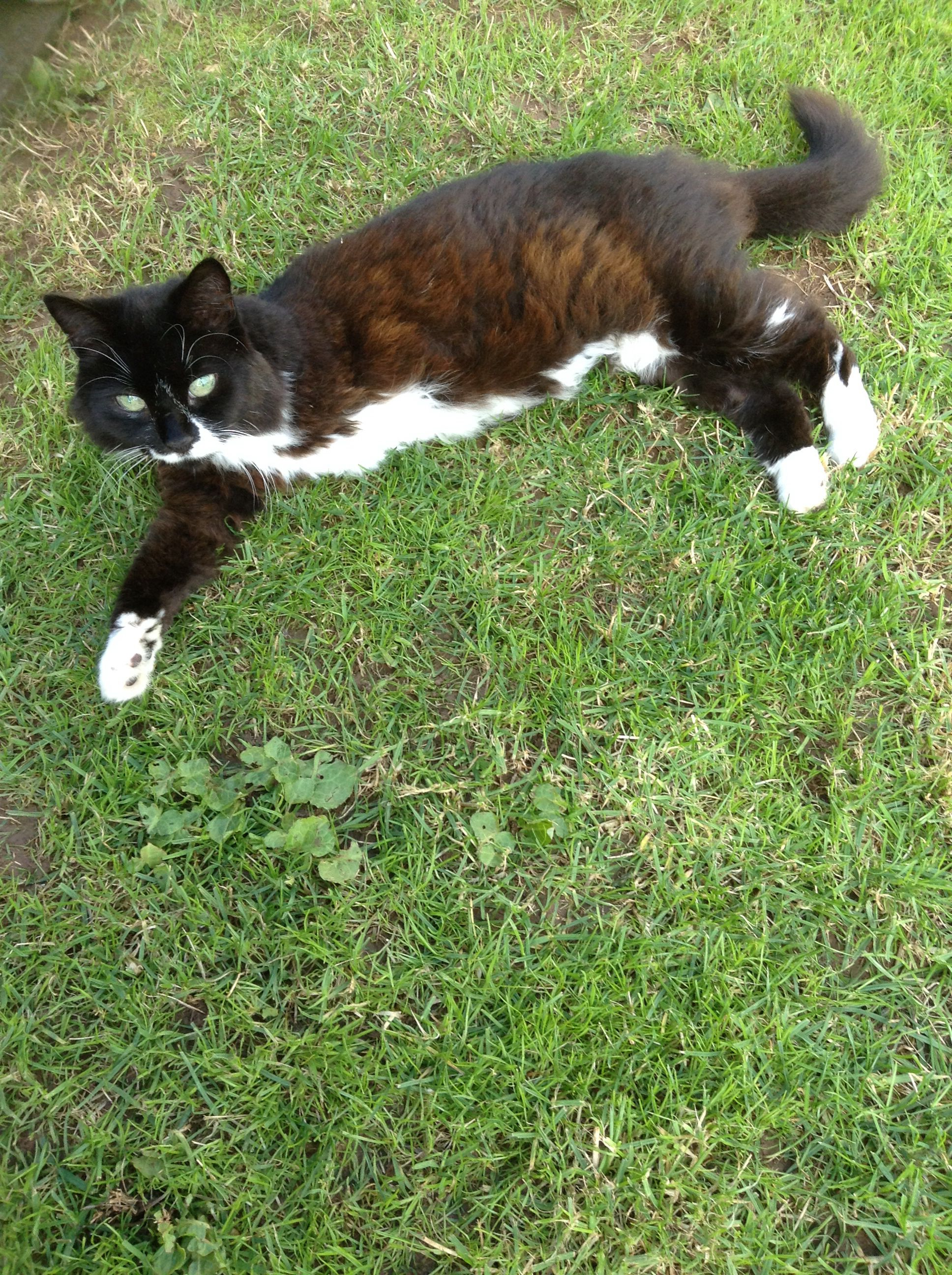 My three leged cat silky she got attacked by a badger