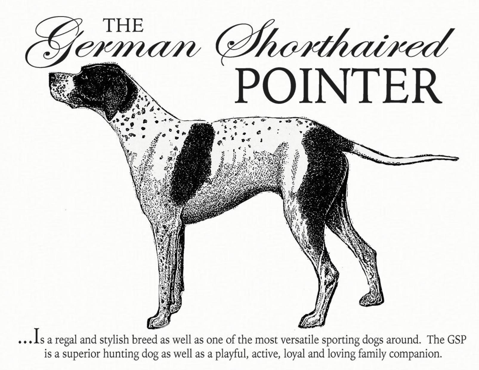 German Shorthair Gsp