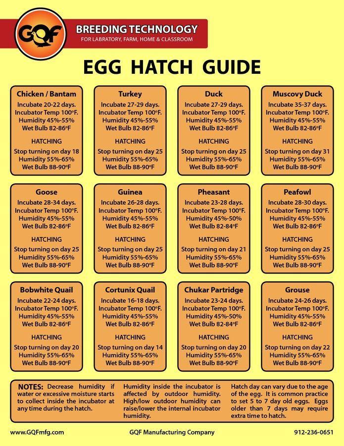 100 CHUKAR PARTRIDGE HATCHING EGGS