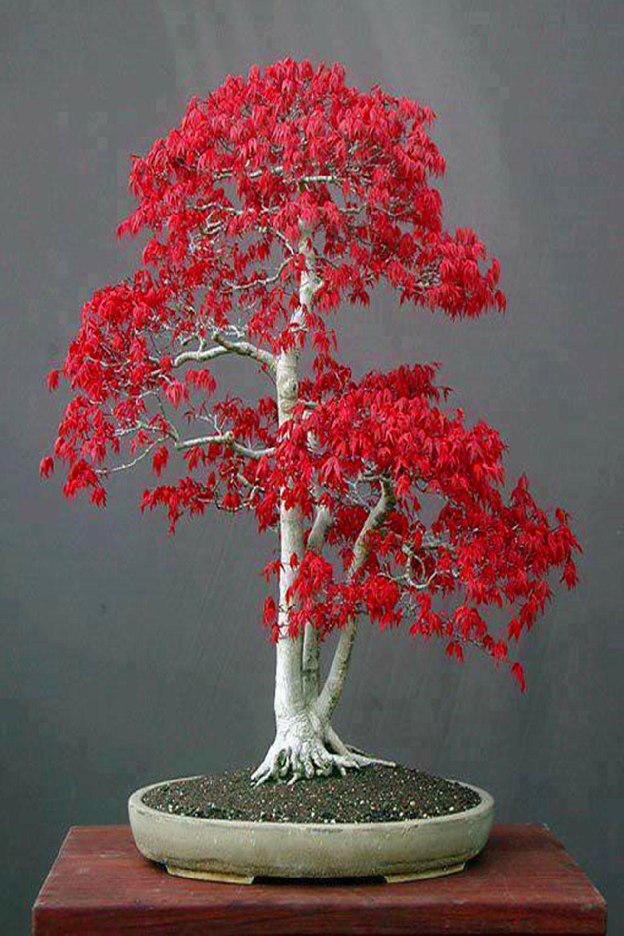 Bonsai Trees Pinterest