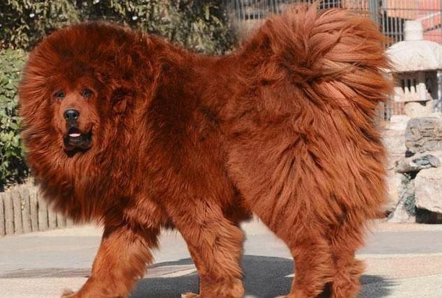 Red Tibetan Mastiff Expensive Dogs Rare Dogs Most Expensive Dog