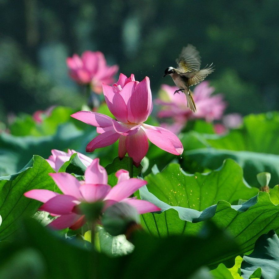 Beautiful lotus flower and cute birds water lilies and lotus beautiful lotus flower and cute birds izmirmasajfo Images