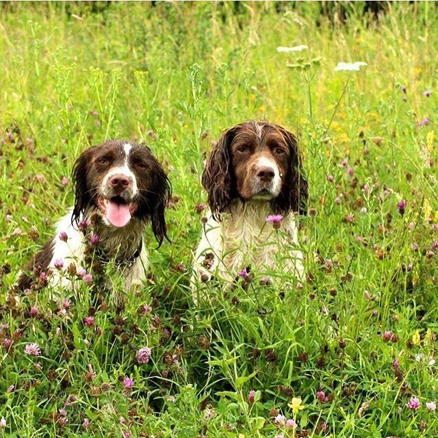 Cuties Picture From Michaelphotography Ess Springer Springerspaniel Spaniel Dog Springer Spaniel Springer Spaniel Puppies English Springer Spaniel