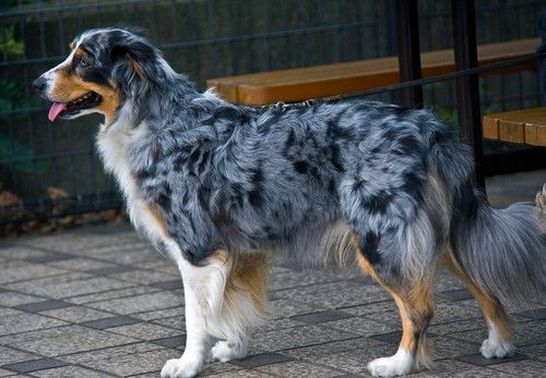 The Lethal White Double Merle Gene Decoded Dogs Australian