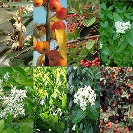 Une collection bucolique pour vos haies. Attirez les oiseaux dans votre jardin avec ses arbustes et petits arbres champêtres : elaeagnus, photinia, cotoneaster...