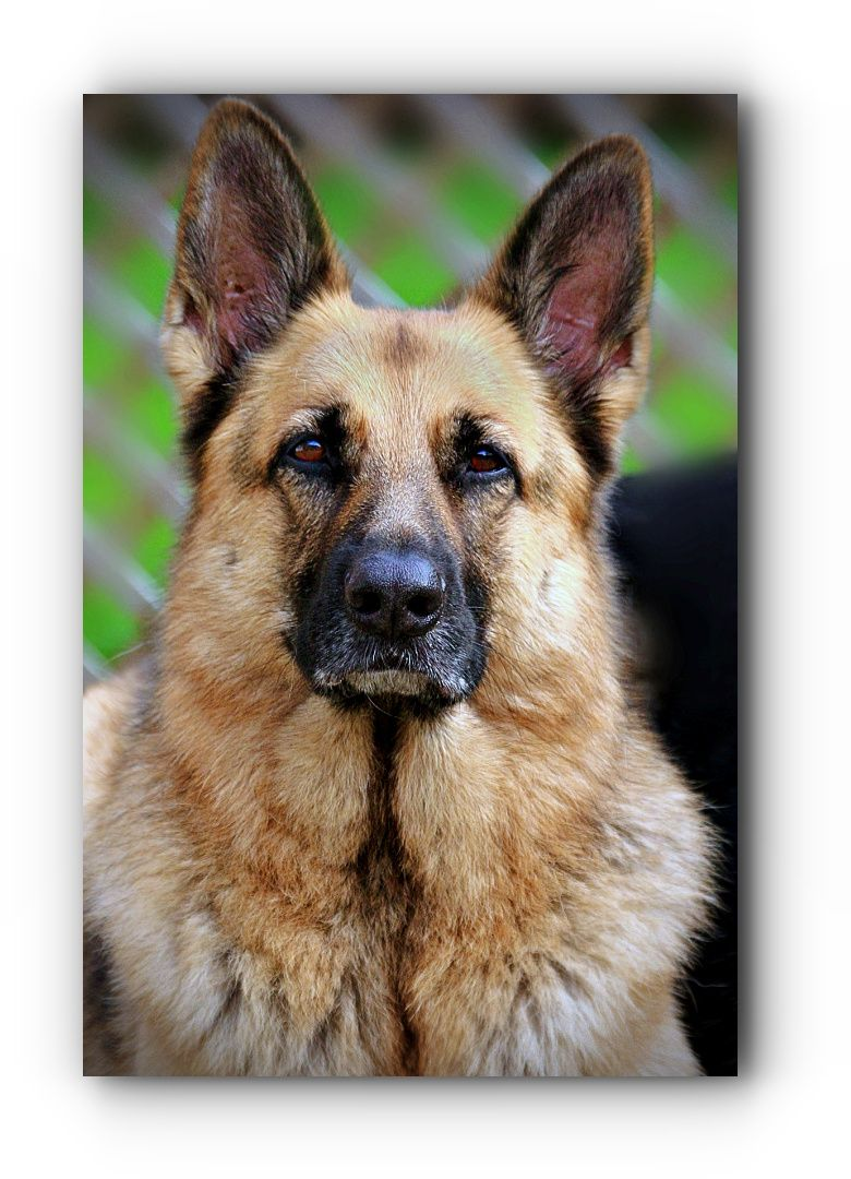 Looking For Gsd Dog German Shepherd Rescue Wisconsin With