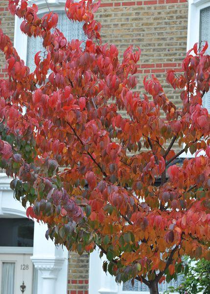 Prunus Serrula Birch Bark Cherry Small Trees For Garden Garden Trees Winter Plants