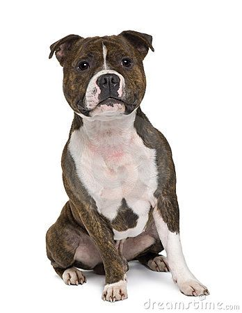 Front View Of Staffordshire Bull Terrier Sitting English Staffordshire Bull Terrier Staffy Dog Bull Terrier Dog