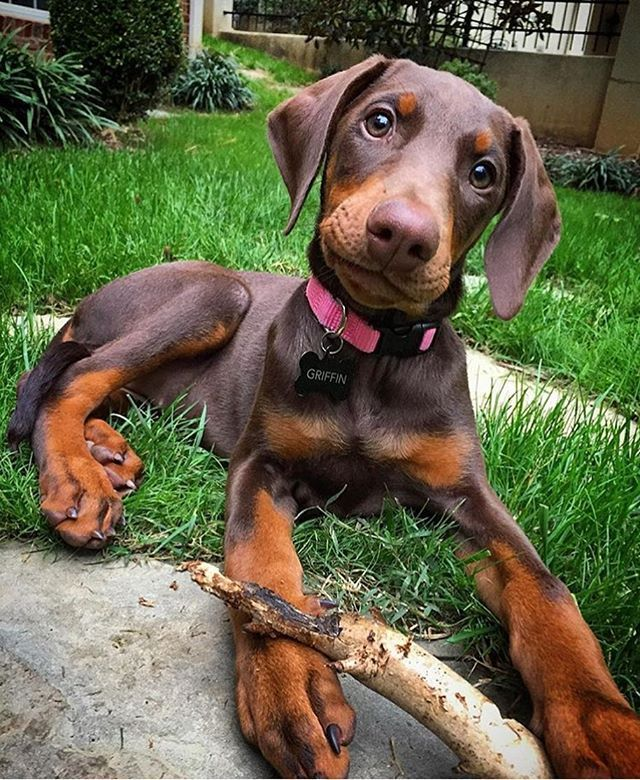 Doberman … Doberman pinscher dog, Doberman pinscher