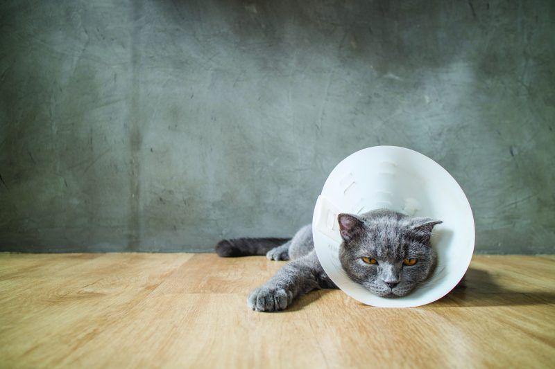 Hot Spots On Cats Elizabethan Collar Cat Care Sick Cat