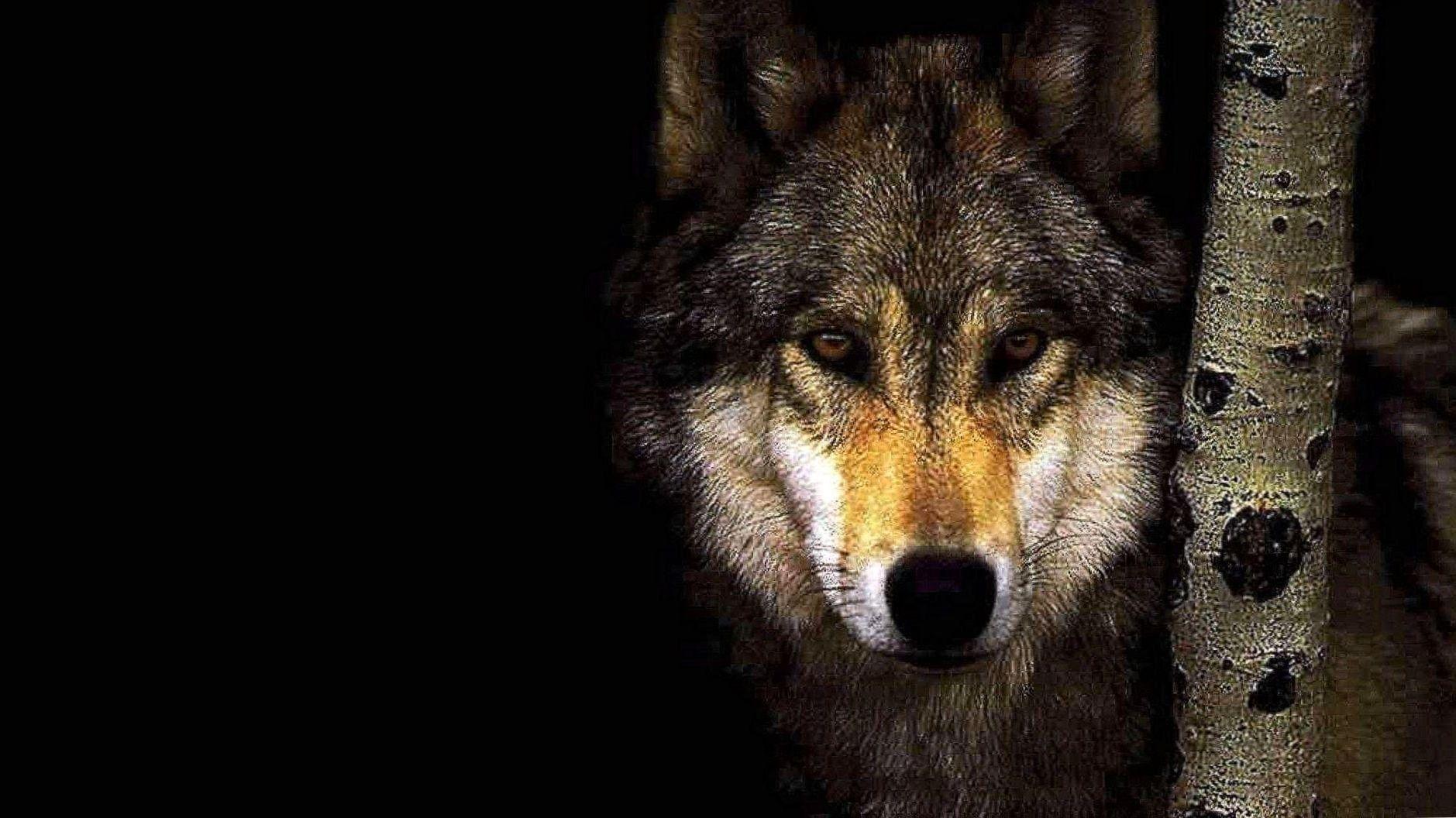 1920x1080 Wallpapers Hd Wolf 1920x1080 Wallpapers Hd Wolf Wolf Wallpaper Angry Wallpapers Dark Wallpaper
