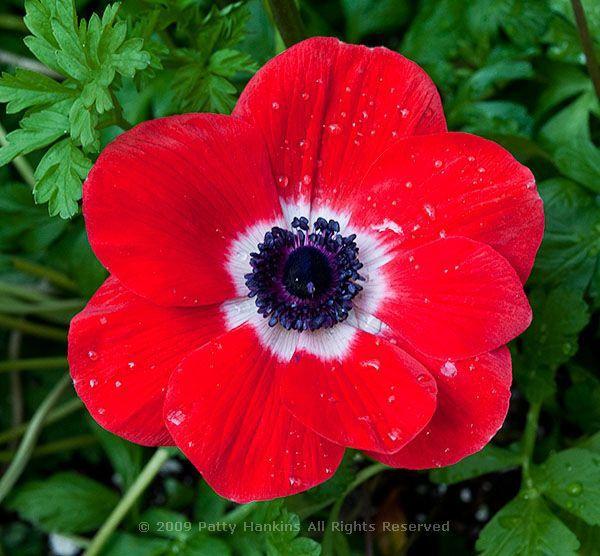 Anemone Flower Poppy Anemone Anemone Coronaria Beautiful Flower Pictures Blog Beautiful Flowers Pictures Anemone Flower Anemone