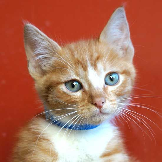Stars Is A Two Month Old Orange Tabby Kitten Up For Adoption Right Now Aren T His Eyes Just Gorgeous Cats And Kittens Cat Adoption Pet Adoption
