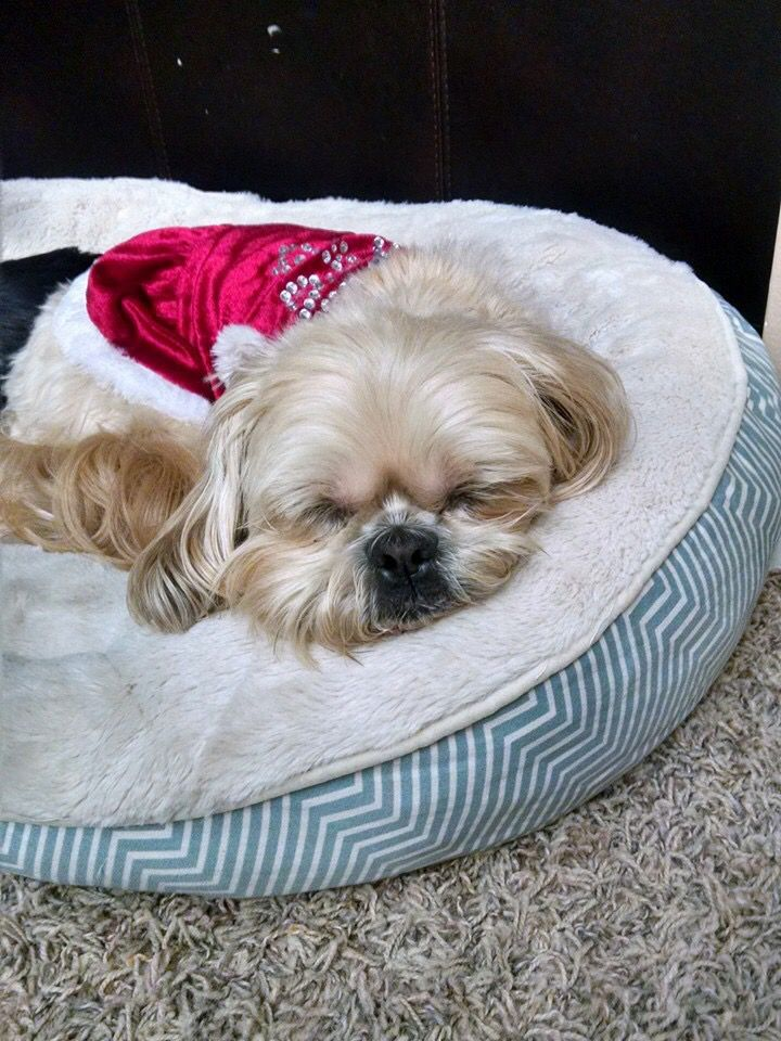 It Has Been Rough Today Cute Animals Cute Puppies Shih Tzu Dog