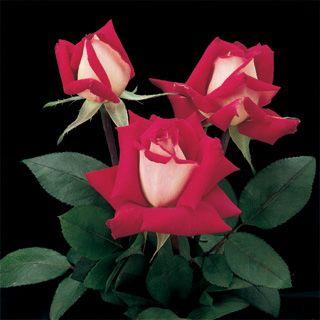 Beautiful Black Rose Flower with Red Edge Seedling Seed 50 SEEDS BIN