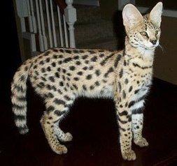Care And Feeding Of Savannah Cat Bengal Cat Bengal Cat For Sale