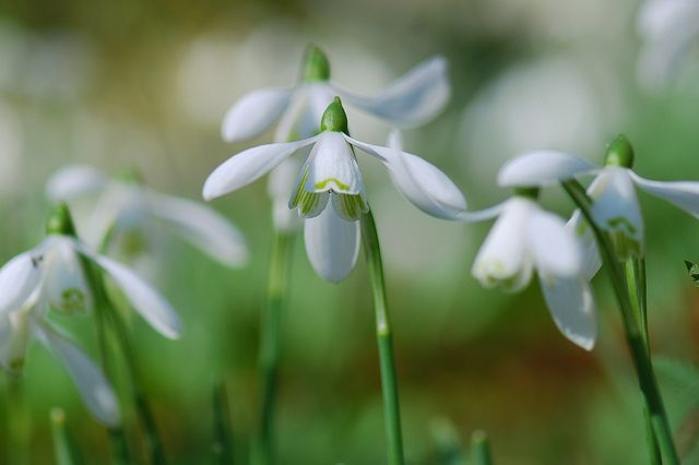 Snowdrops Flowers Spring Flowers Plants