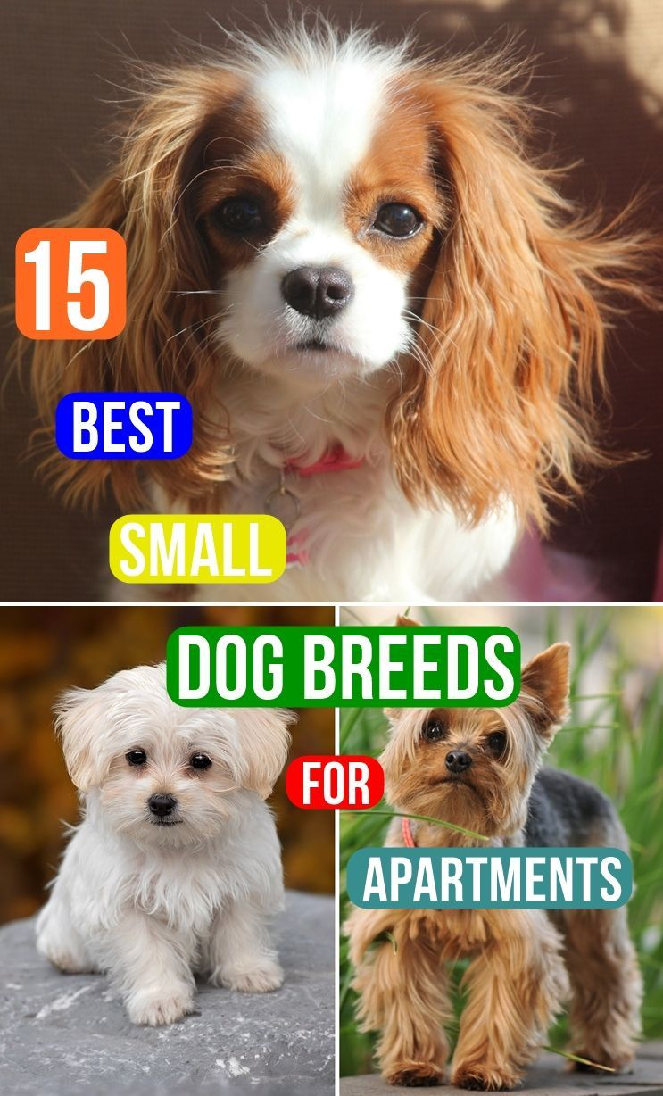 15 Best Small Dog Breeds For Apartments In 2020 Best Small Dogs Best Small Dog Breeds Small Dogs