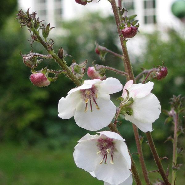 Verbascum blattaria  Denne kongelys, 'Domino', er en høj, statelig plante, der kan blive op til 180 cm. Første år bliver den blot til en flad roset, næste år kommer den flotte, ranke blomsterstand. De mange enkelte blomster åbner sig nedefra og opad – på knopstadiet ligner de små rosa pakker, udsprungne er blomsterne yndigt hvide med et stænk af rosa.
