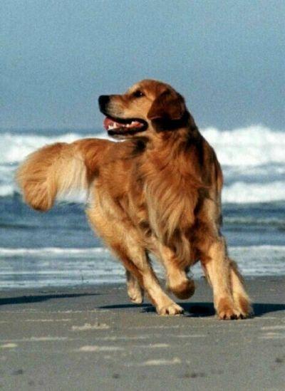 Savaneta Golden Retrievers Retriever Golden Retriever Dogs