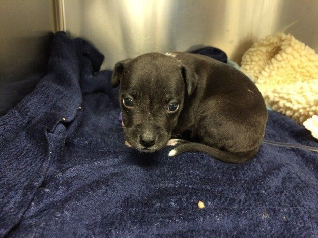 Pocket The Three Week Old Pitbull Puppy Rescued From An Alleged