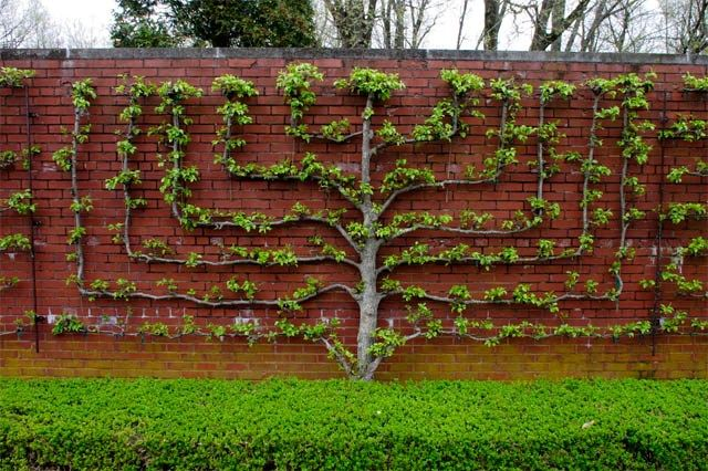 Espalier is art of pruning and training trees or shrubs usually against a wall or trellis.