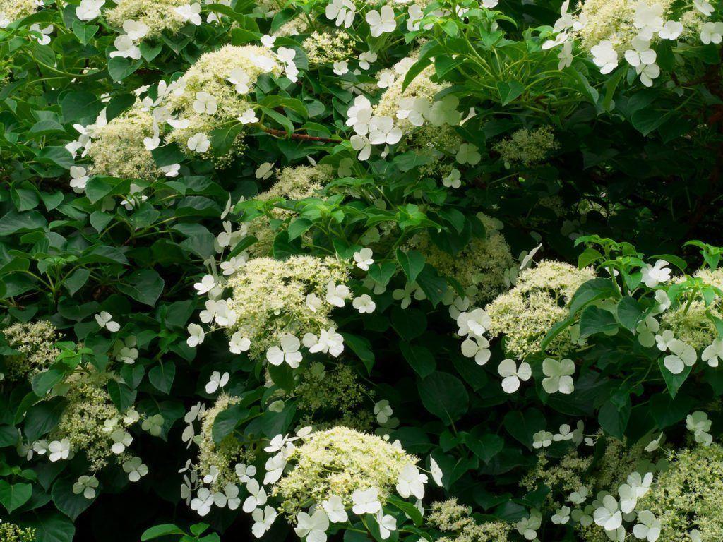Climbing hydrangea pruning how to prune climbing