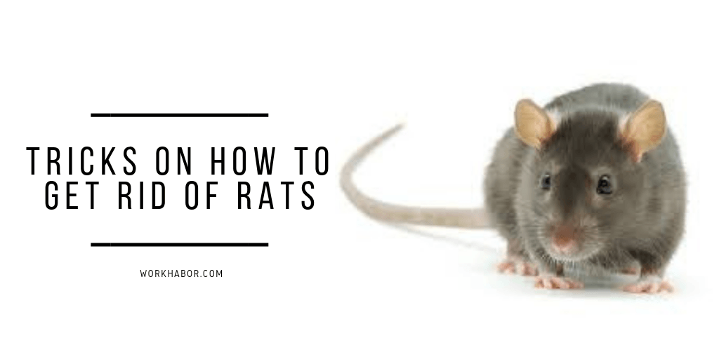 9 Tricks To Get Rid Of Rats From Your Garden For Good ...