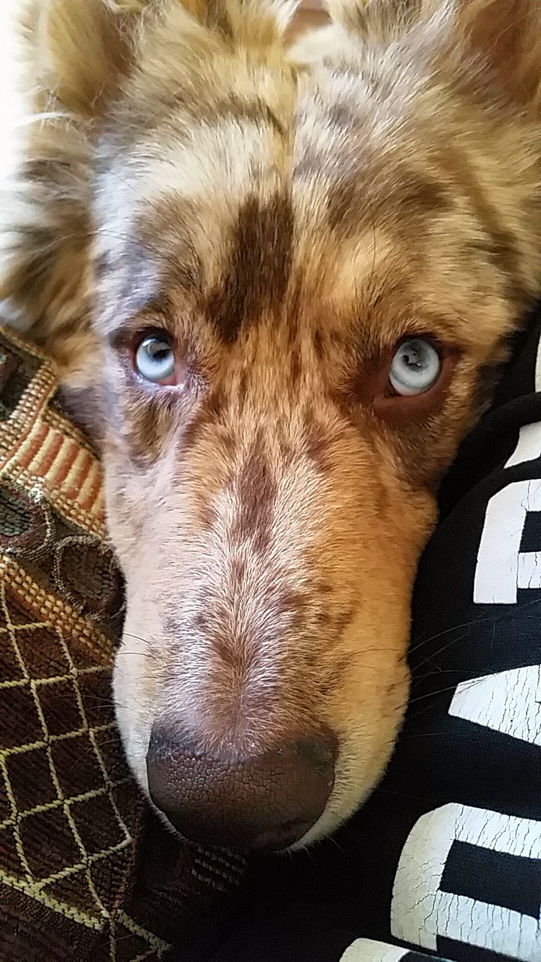 Introducing Todd my 7 month old Husky/Australian Shepherd mix!