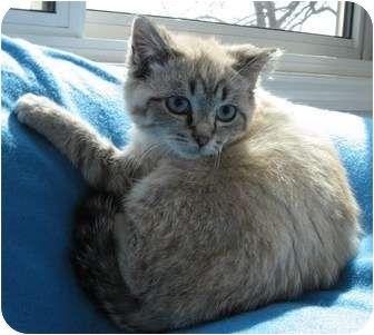 Cincinnati Oh Siamese Meet Penny A Cat For Adoption Http Www Adoptapet Com Pet 6906287 Cincinnati Ohio Cat Pets Cat Adoption Kitten Adoption