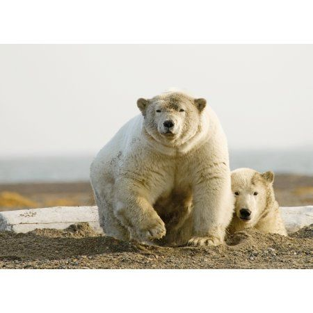 Female Polar Bear Defending Yearling Cub On Barrier Island Near Kaktovik Alaska Canvas Art - Nick Jans Design Pics (18 x 13)